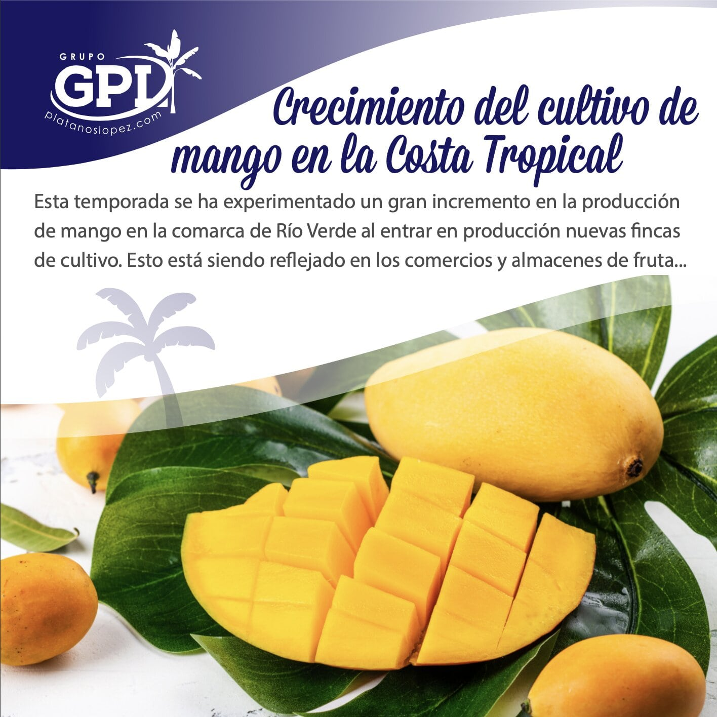 La producción de mango crece en la costa tropical